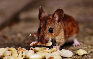 לוכד עכברים