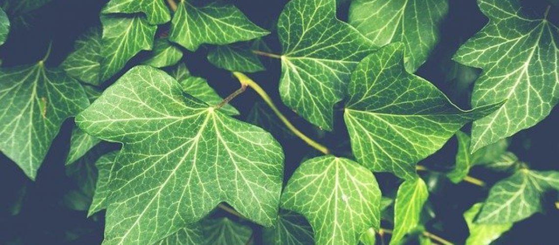 ivy-3519431_640